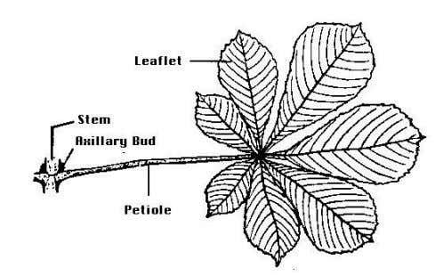 Dicotyledonous stem Monocotyledonous stem 3. Leaf The function of leaf  Having photosynthesis  Exchanging gas