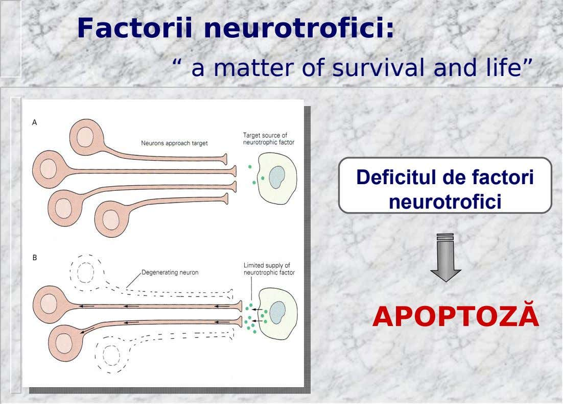 "Factorii neurotrofici: "" a matter of survival and life"" Deficitul de factori neurotrofici APOPTOZĂ"