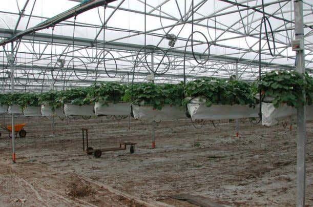 Sustainable Greenhouse Systems 47 Figure 30. Suspended bag culture of strawberry. This growing method culture reduces