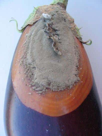 caused by Botrytis cinerea infection on greenhouse tomatoes. Figure 33. Botrytis cinerea infection on eggplant fruits.