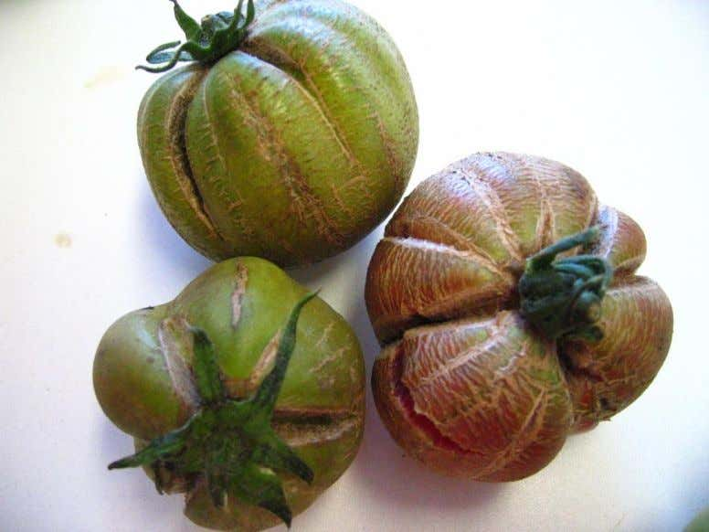 Aculops lycopersici, harmful to tomato (Figure 35). Figure 35. Fruit crakings and bronzing caused by Aculops