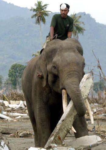 An elephant helps clean up debris left by the devastating December 2004 tsunami in Banda