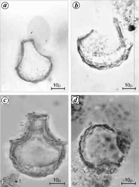 fields and are considered as indicators of rice cultivation Figure 3. Photomicrographs of fan-shaped rice phytoliths