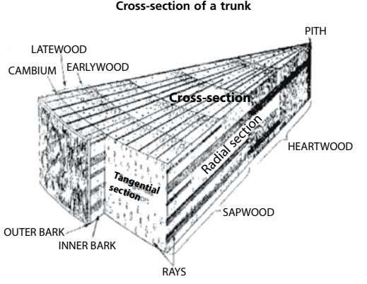 Cross-section of a trunk Radial section LATEWOOD CAMBIUM EARLYWOOD Tangential Cross-section section HEARTWOOD OUTER BARK INNER