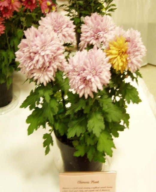 Examples of Chimeric Plants Chrysanthemum Rose