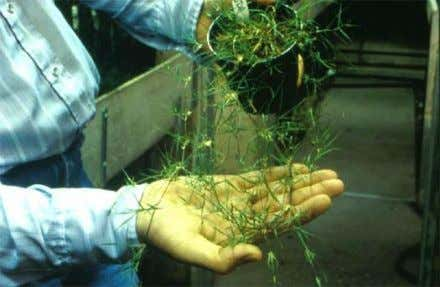 • New plants are formed on each node • Examples: Strawberry, Spider Plant, Buffalograss Strawberry Buffalograss