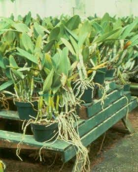 Rhizomes  Laterally grown underground stems  Iris, ginger, lily of the valley, orchid