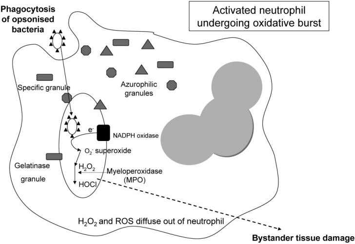 1064 SHAWCROSS ET AL. HEPATOLOGY, March 2010 Fig. 1. An activated neutrophil undergoing oxidative burst. Neutro-
