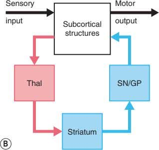 Sensory Motor input output Subcortical structures Thal SN/GP Striatum B