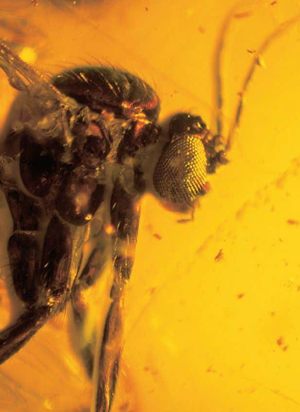 AMBER AND COPAL 3 Figure 1.1 Insect in Baltic amber, showing typical white coating. - Figure