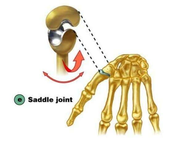Saddle joints ● One of bones forming the joint is shaped like a saddle and the
