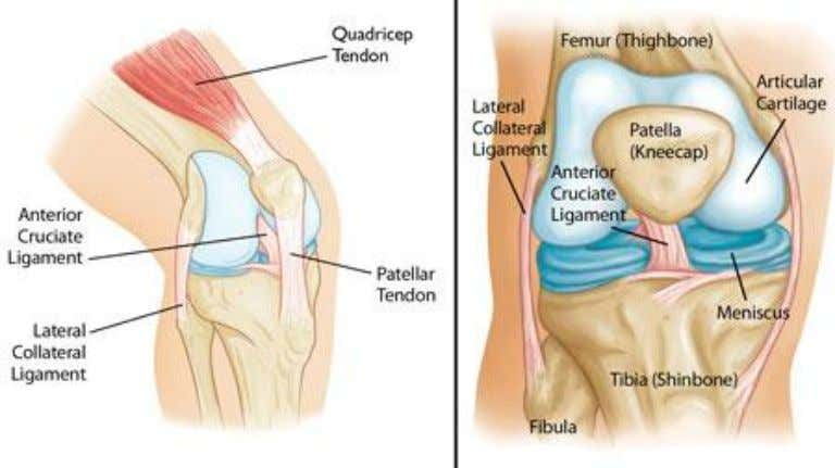 Structure of Knee There are 4 main categories: Bones Articular Cartilage Ligaments Tendons