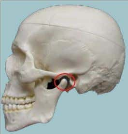 ● Mandibular fossa ● Articular tubercle (from the squamous part of temporal bone) ● Head of