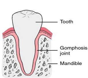 (disease happen to connective tissue) Ex. Gomphoses which attach human's roots of the teeth to upper