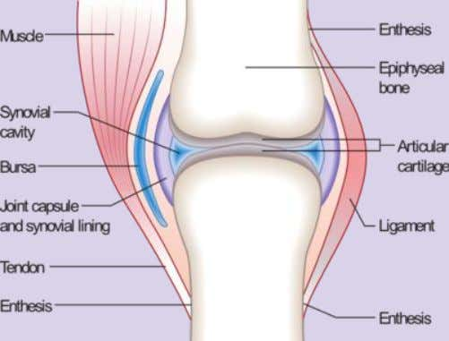 has the greatest ability to move comparing to other joints in mammals. Articular cartilage covers the