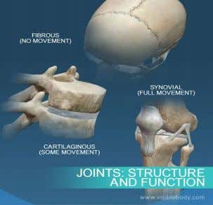 joint between the tibia and the fibula and the pubic symphysis Diarthrosis (full movement) - Elbow,