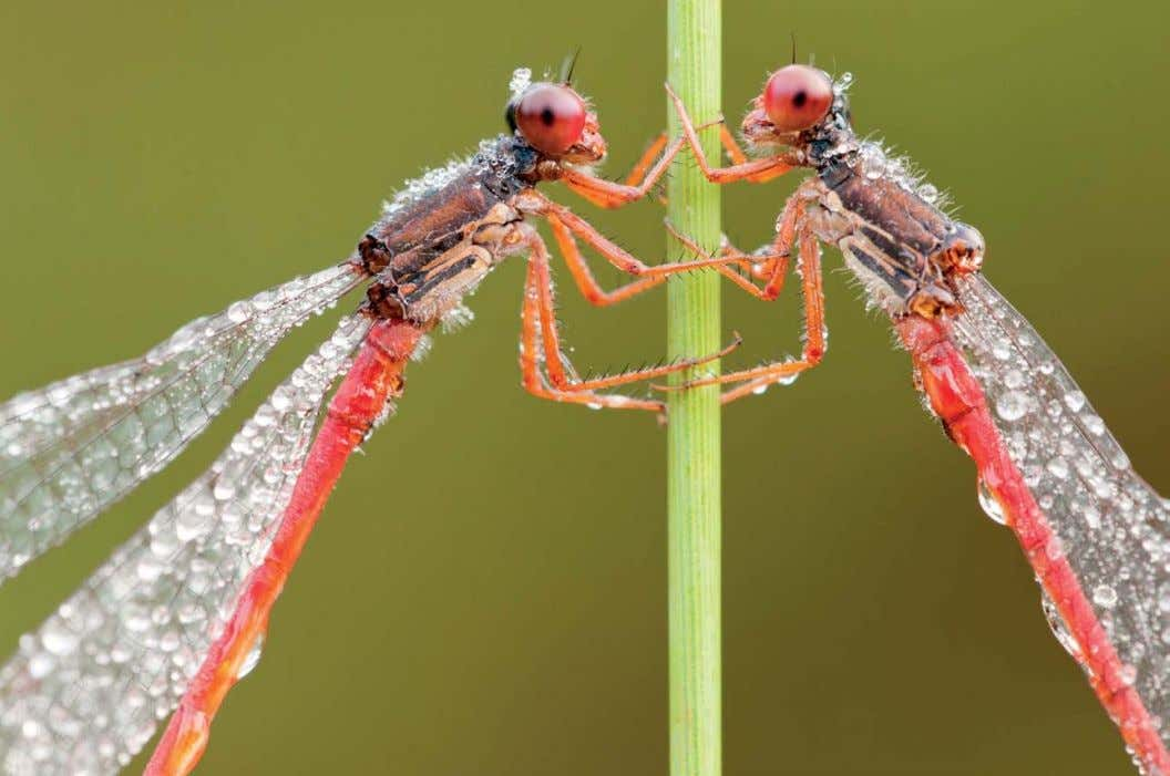 SMALL RED DAMSELFLIES I captured these damselflies using a relatively large aperture of f/13 to