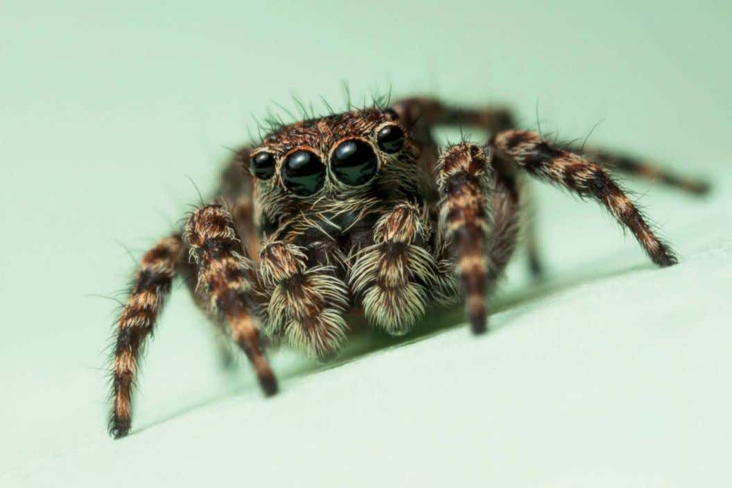 JUMPING SPIDER Flash can allow photographers to capture sharp, detailed and beautifully lit images of