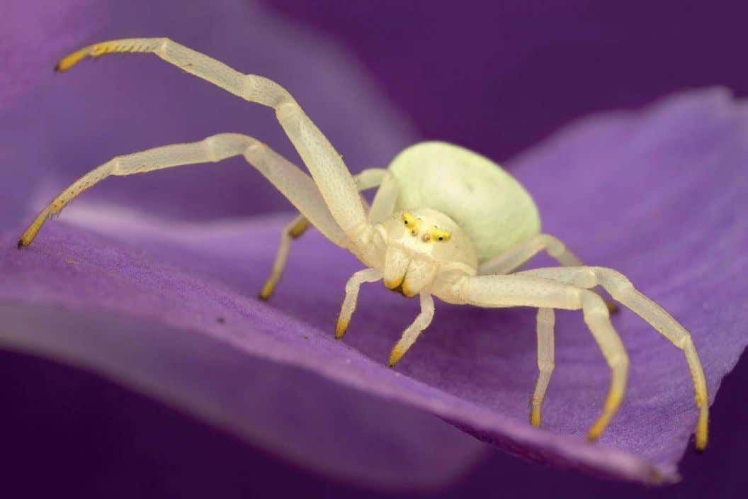 CRAB SPIDER Flash was essential in order to photograph this crab spider. However, without diffusion,