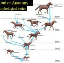 Comparative Anatomy Morphological series