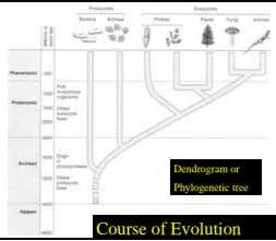 Dendrogram or Phylogenetic tree Course of Evolution