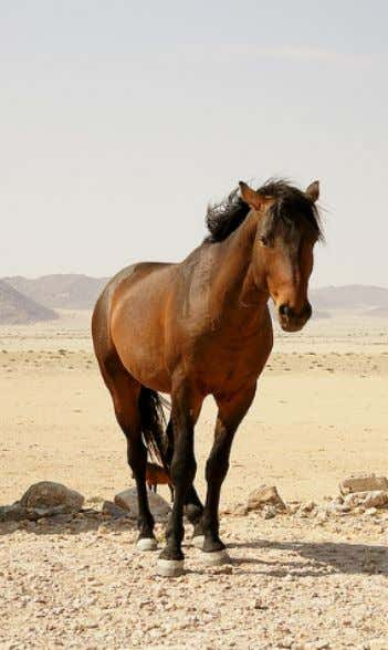 5.5, the optimal BMI for the horse is between 1.20 to 1.25. Namibian desert feral horse