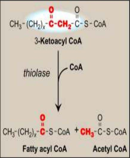 Energy Yield from FA Oxidation CH -(CH ) -CO-CoA 6 FADH 2 6 NADH 6 Acetyl