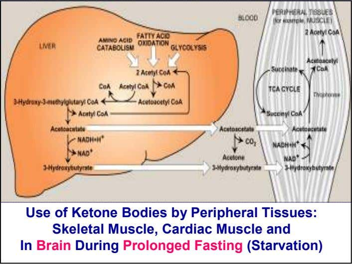 Use of Ketone Bodies by Peripheral Tissues: Skeletal Muscle, Cardiac Muscle and In Brain During Prolonged