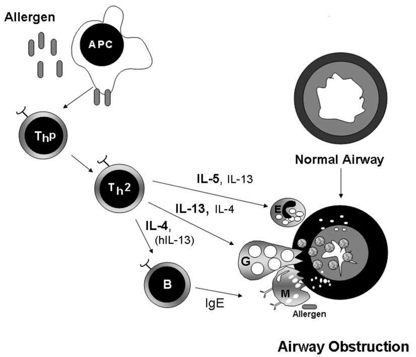 26 ANNALS NEW YORK ACADEMY OF SCIENCES FIGURE 2. Proposed allergic asthma model. Role of Th2