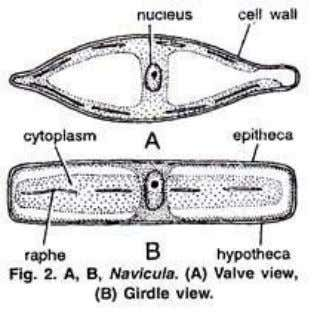"within the raphe, and by the extrusion of the mucilage."" Just inner to the cell wall"