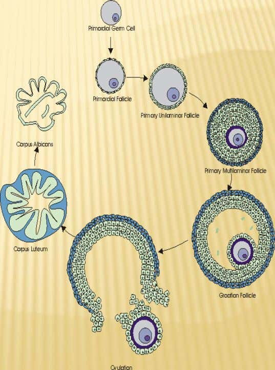 THE OVARIAN CYCLE - It is the periodic changes which occur in the ovary under the