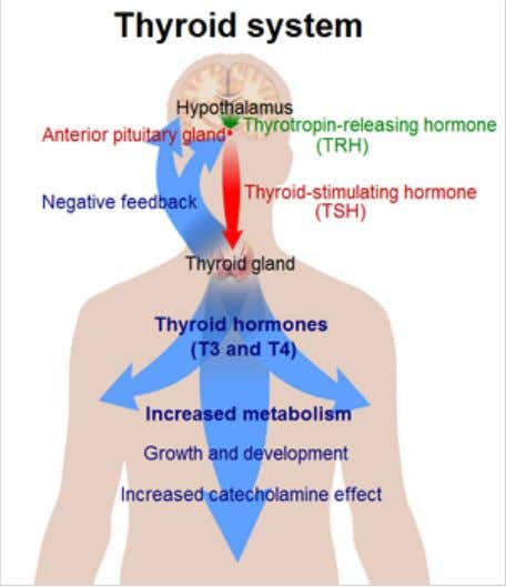 The system of the thyroid hormones T 3 and T 4 . [ 2 3