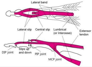 only functioned as a ligament and they were not actuated. Figure 1. Anatomic structure of the
