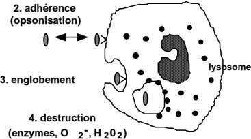 2. adhérence (opsonisation) lysosome 3. englobement 4. destruction (enzymes, O 2 - , H 2