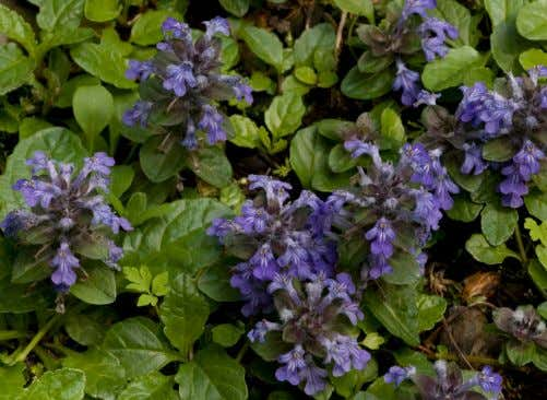 this, depending on the size and nature of the plants chosen. Bugle, Ajuga reptans | Bob