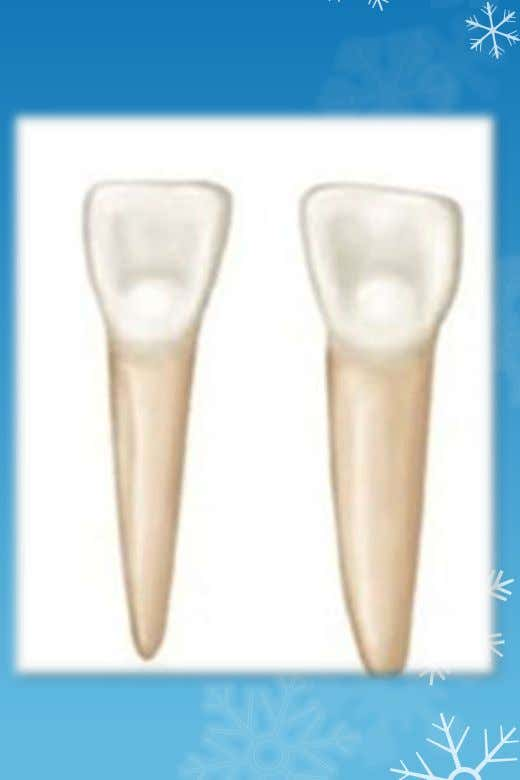 Specific description of each tooth : • Mandibular Central Incisors- • Symmetrically flat when viewed