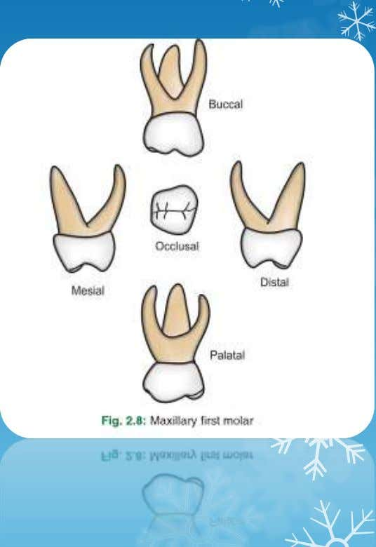 Molar • Unique appearance • Has three cusps-MB, DB and Lingual • Prominent cervical bulge •