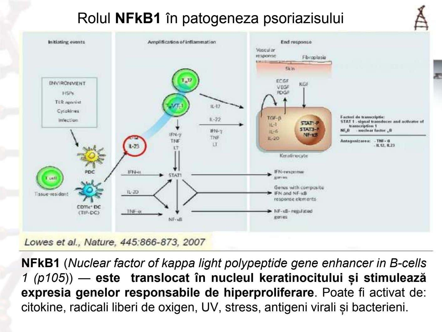 Rolul NFkB1 în patogeneza psoriazisului NFkB1 (Nuclear factor of kappa light polypeptide gene enhancer in