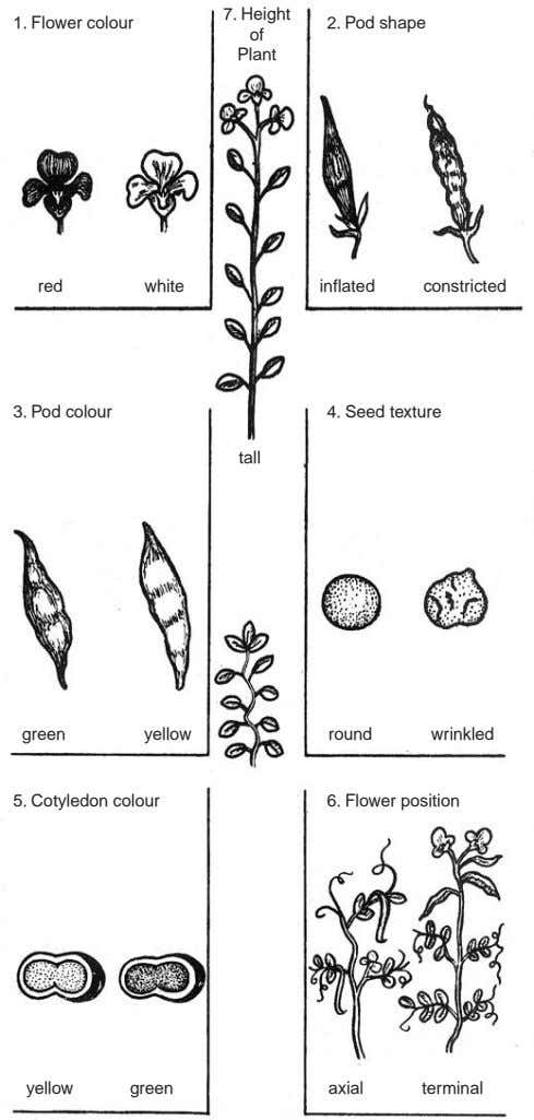 7. Height 1. Flower colour 2. Pod shape of Plant red white inflated constricted 3.