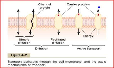 • Example : transport of O2 and CO2 across the membrane. FACILITATED DIFFUSION • Movement of
