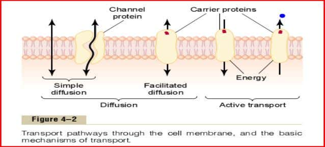• Tubular pathways from ECF to ICF. • Simple diffusion from one side of membrane to