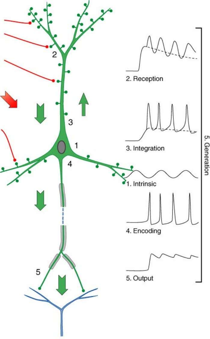 FIGURE 1 Nerve cells have four main regions an d five main functions. Electrotonic potential