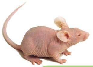 Athymic Nude Mouse Harlan Laboratories Oncology The nu mutation was discovered in 1962 in a closed