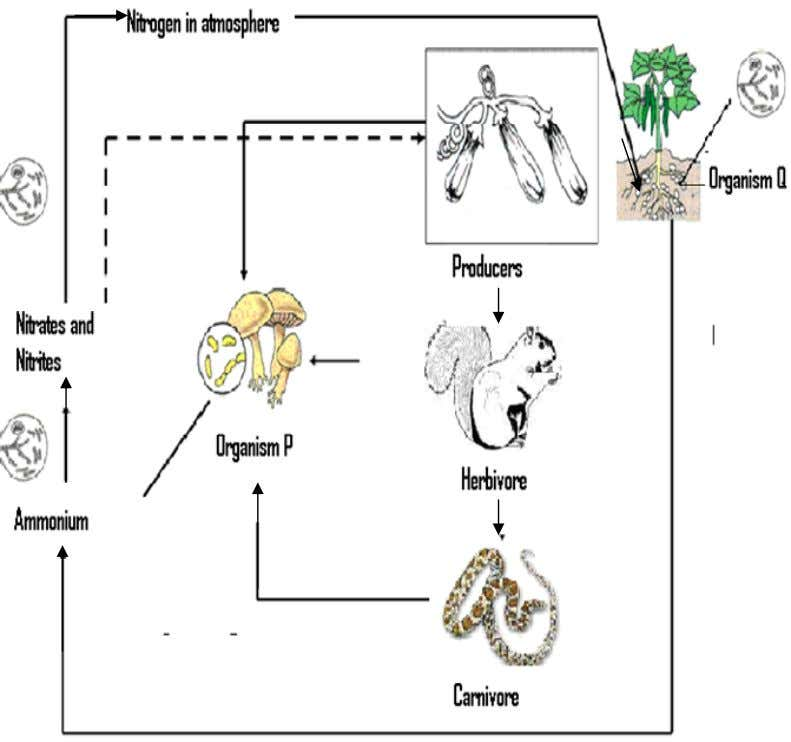 Diagram 7.2 shows the nitrogen cycle in a vegetable farm . DIAGRAM 7.2 Describe what will