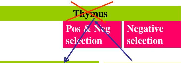 Thymus Pos & Neg Negative selection selection