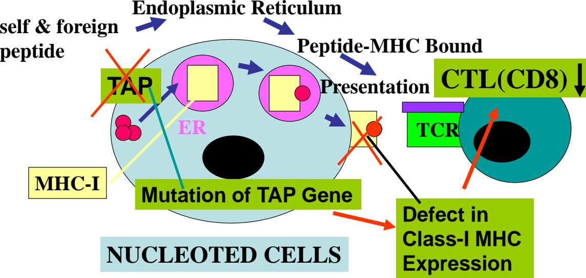 Endoplasmic Reticulum self & foreign peptide Peptide-MHC Bound CTL(CD8) TAP Presentation ER TCR MHC-I Mutation of
