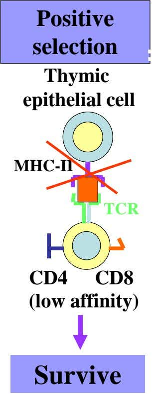 Positive selection Thymic epithelial cell MHC-II TCR CD4 CD8 (low affinity) Survive