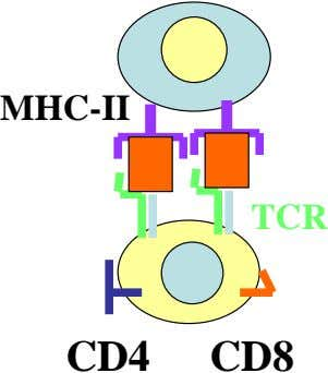 MHC-II TCR CD4 CD8