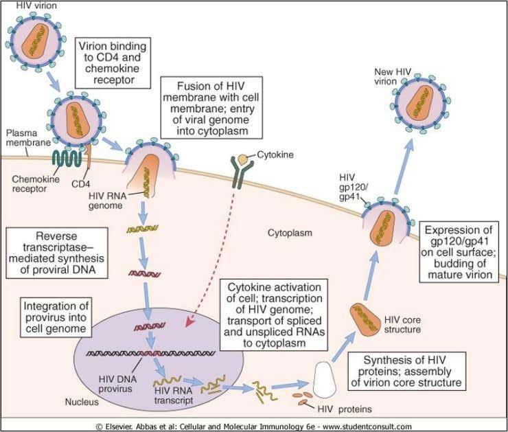 Figure 20-5 HIV life cycle. The sequential steps in the life cycle of HIV are shown,