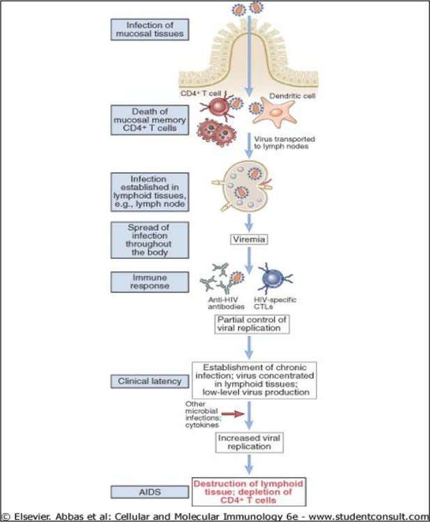 Figure 20-7 Progression of HIV infection. The progression of HIV infection correlates with spread of the